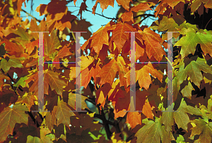 Picture of Acer saccharum ssp. floridanum