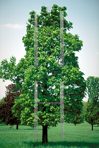 Picture of Acer platanoides 'Erectum'