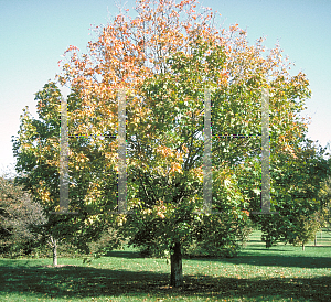 Picture of Acer platanoides 'Superform'