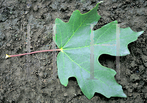 Picture of Acer saccharum