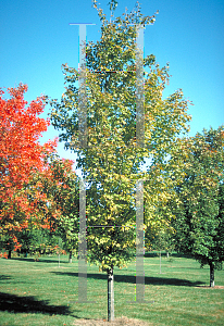 Picture of Acer saccharum 'Endowment'