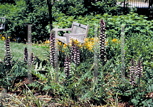Picture of Acanthus balcanicus