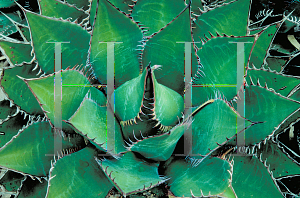 Picture of Agave shawii