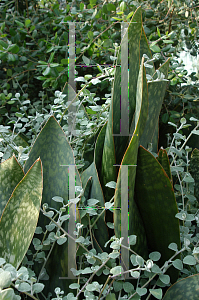 Picture of Sansevieria grandis