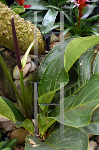 Picture of Anthurium jenmannii