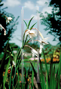 Picture of Gladiolus callianthus
