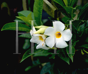 Picture of Allamanda bolivinensis