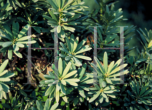 Picture of Podocarpus latifolius