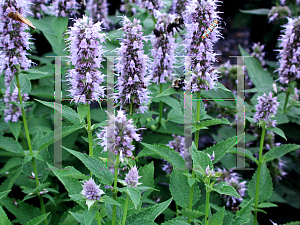 Picture of Agastache  'Blue Fortune'