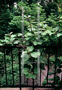 Picture of Actinidia deliciosa