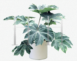 Picture of Tetrapanax papyrifer