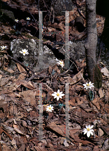 Picture of Sanguinaria canadensis