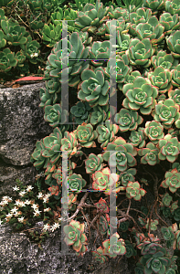 Picture of Aeonium haworthii