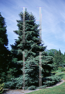 Picture of Abies pinsapo 'Glauca'