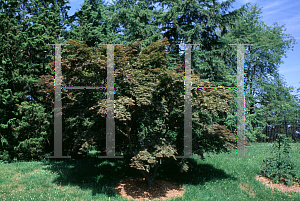 Picture of Acer palmatum (Amoenum Group) 'Ogon sarasa'