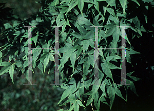 Picture of Acer palmatum (Palmatum Group) 'Ukon'