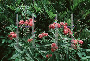 Picture of Asclepias incarnata