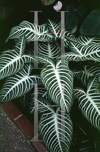 Picture of Caladium lindenii