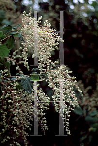 Picture of Holodiscus discolor