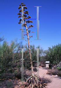 Picture of Agave aurea
