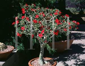 Picture of Adenium obesum 'Crimson Star'