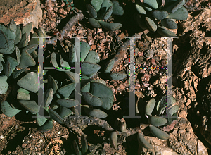 Picture of Adromischus triflorus