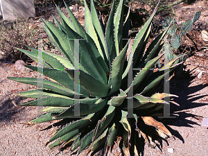 Picture of Agave auellanidens