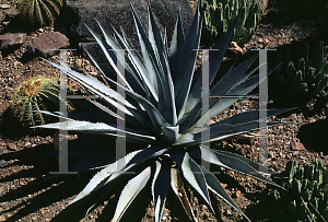 Picture of Agave chrysantha
