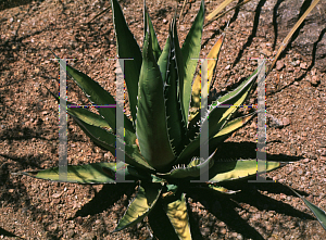Picture of Agave difformis