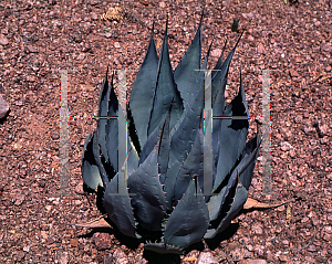 Picture of Agave flexispina