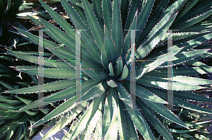 Picture of Agave funkiana