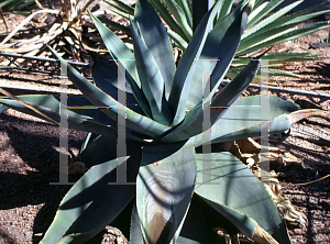 Picture of Agave guiengola