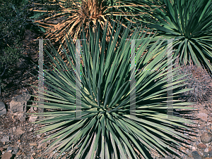 Picture of Agave ocahui