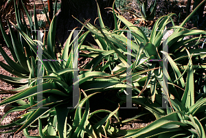 Picture of Agave vanbalenii