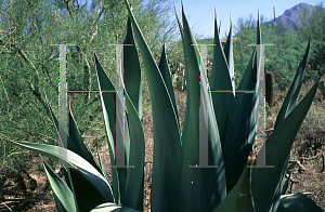 Picture of Agave weberi
