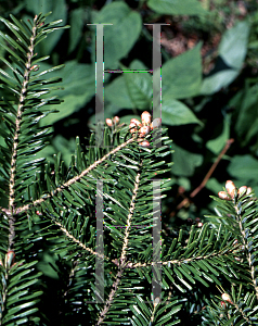 Picture of Abies balsamea