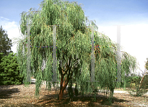 Picture of Acacia stenophylla