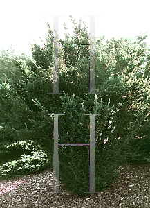 Picture of Taxus baccata 'Amersfoot'