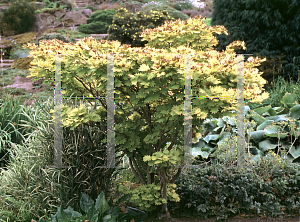 Picture of Acer shirasawanum 'Aureum'
