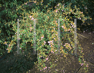 Picture of Abelia schumannii