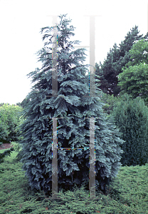 Picture of Chamaecyparis lawsoniana 'Pembury Blue'