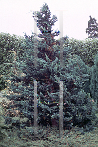Picture of Chamaecyparis lawsoniana 'Wisselii'