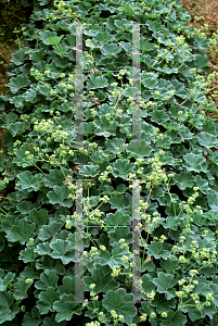 Picture of Alchemilla erythropoda