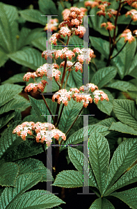 Picture of Rodgersia henrici