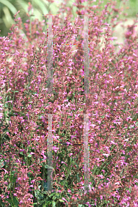 Picture of Agastache  'Pink Panther'