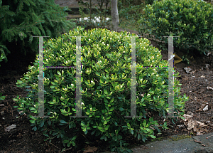 Picture of Ilex glabra 'Ivory Queen'