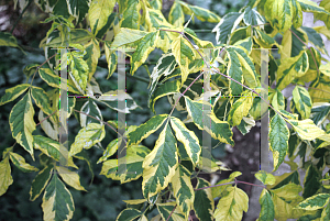 Picture of Acer negundo 'Aureo-marginata'