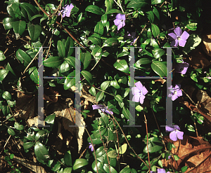 Picture of Vinca minor 'Bowle's Variety'