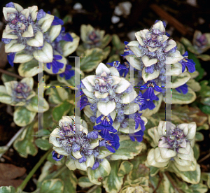 Picture of Ajuga reptans 'Silver Beauty'