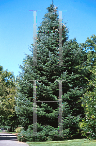 Picture of Abies procera